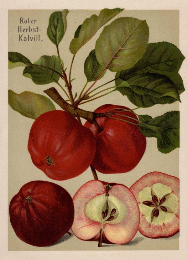 Roter Herbstkalvill