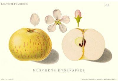 Müschens Rosenapfel