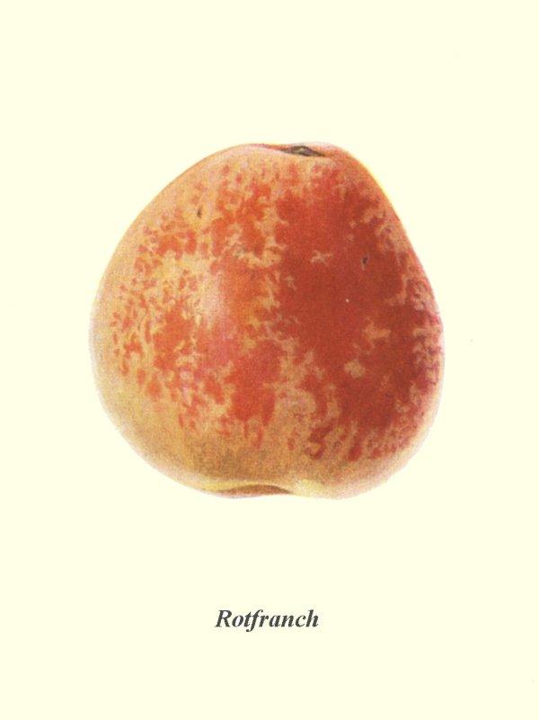 Rotfranch