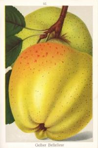 Gelber bellefleur