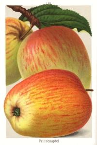 Apfel hasenkopf